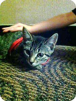 American Shorthair Kitten for adoption in Oakland Gardens, New York - Jamie
