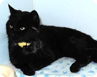 Domestic Shorthair Cat for adoption in Novelty, Ohio - Vladamir