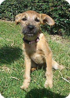 Schnauzer (Miniature)/Terrier (Unknown Type, Small) Mix Puppy for adoption in El Cajon, California - LILA