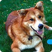 Corgi/Akita Mix Dog for adoption in Burbank, California - Charlie Bear - Pls. read