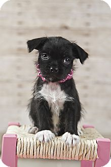 Pug/Maltese Mix Puppy for adoption in Hagerstown, Maryland - Maddie