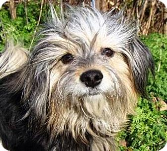 Havanese Dog for adoption in Oswego, Illinois - Lil Abner