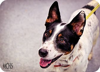 Australian Cattle Dog Mix Dog for adoption in Martinsville, Indiana - Cai