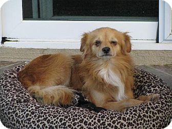 Tibetan Spaniel/Cocker Spaniel Mix Dog for adoption in Long Beach, California - Chillie