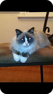 Ragdoll Cat for adoption in Dallas, Pennsylvania - Libbey