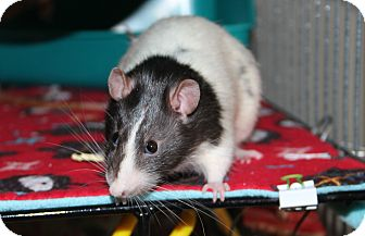 Rat for adoption in Austin, Texas - Fred