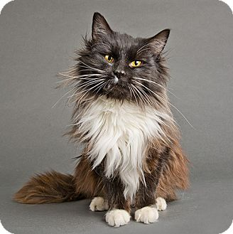 Domestic Longhair Cat for adoption in Wilmington, Delaware - Cocoa
