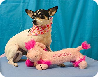 Rat Terrier/Fox Terrier (Smooth) Mix Dog for adoption in Poteau, Oklahoma - DORA