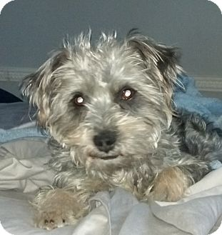 Shih Tzu/Schnauzer (Miniature) Mix Dog for adoption in Washington, D.C. - Biscuit