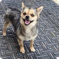 Adopt A Pet :: Maya - La Mirada, CA