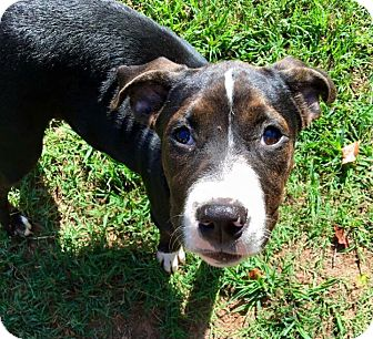 Catahoula Leopard Dog/American Bulldog Mix Puppy for adoption in Fort Valley, Georgia - Elisabeth