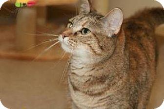 Domestic Shorthair Cat for adoption in Fenton, Missouri - Morracca
