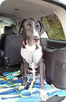 Great Dane/Labrador Retriever Mix Dog for adoption in Gallatin, Tennessee - Rufus