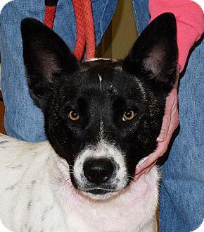 Australian Cattle Dog/Akita Mix Dog for adoption in Spokane, Washington - Igloo