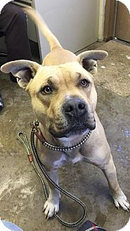 American Pit Bull Terrier Mix Dog for adoption in Cadiz, Ohio - THOR