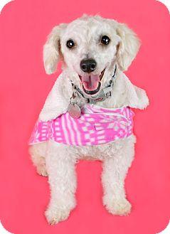 Poodle (Miniature) Mix Dog for adoption in PHOENIX, Arizona - Gracie