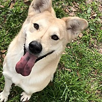Labrador Retriever/German Shepherd Dog Mix Dog for adoption in Baton Rouge, Louisiana - Sandy