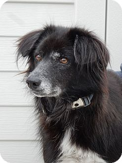 Border Collie Mix Dog for adoption in Long Beach, New York - Posh