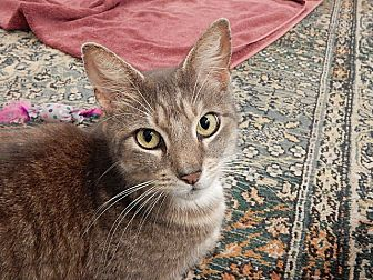 Domestic Shorthair Cat for adoption in Tampa, Florida - Alice