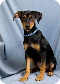 Miniature Pinscher Mix Puppy for adoption in Anna, Illinois - FORRESTER
