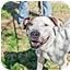 Photo 4 - American Pit Bull Terrier Mix Dog for adoption in Phoenix, Arizona - Peanut