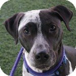 Pointer Mix Dog for adoption in Eatontown, New Jersey - Pony