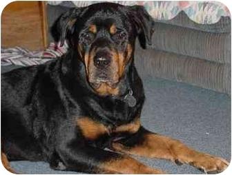 Rottweiler Dog for adoption in Austin, Texas - Bear