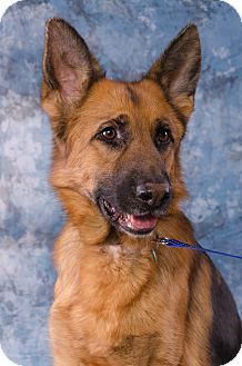 German Shepherd Dog Dog for adoption in Drumbo, Ontario - Bella