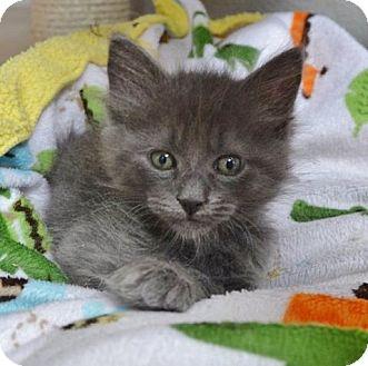 Maine Coon Kitten for adoption in Davis, California - Wolf Man Jack