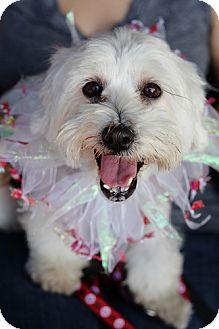 Maltese Mix Dog for adoption in Los Angeles, California - Beautiful Brooklyn