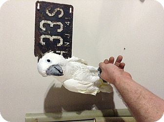 Cockatoo for adoption in Woodbridge, New Jersey - Papi