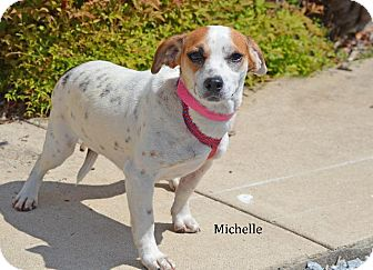 Jack Russell Terrier/Beagle Mix Dog for adoption in Danielsville, Georgia - Michelle