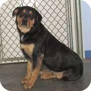 Rottweiler/Shepherd (Unknown Type) Mix Dog for adoption in Scottsburg, Indiana - HENRY