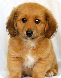 Dachshund/German Shepherd Dog Mix Puppy for adoption in Newland, North Carolina - Fozzy