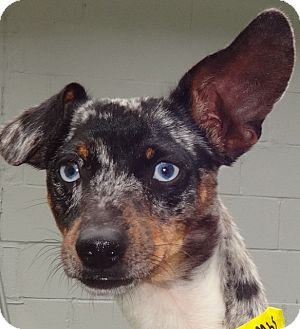 Dachshund/Chihuahua Mix Dog for adoption in Middletown, New York - Bandit