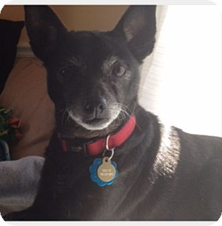 Chihuahua Mix Dog for adoption in Quincy, Massachusetts - OLIVE