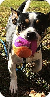 Chihuahua Mix Dog for adoption in Carmel, New York - Harley - Courtesy Post