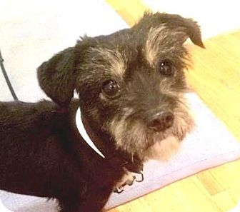 Schnauzer (Miniature)/Terrier (Unknown Type, Small) Mix Dog for adoption in Worcester, Massachusetts - Winifred