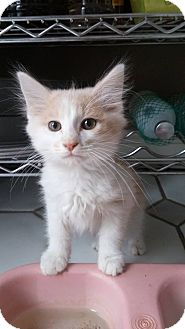 Domestic Shorthair Kitten for adoption in Naperville, Illinois - Scooter
