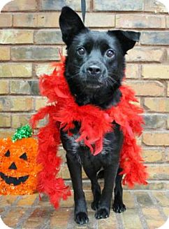 Border Collie/Retriever (Unknown Type) Mix Dog for adoption in Benbrook, Texas - Lauren