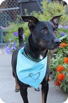 Dachshund Mix Dog for adoption in Yukon, Oklahoma - Perry