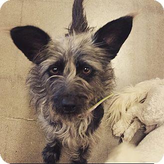 Cairn Terrier/Schnauzer (Miniature) Mix Dog for adoption in Phoenix, Arizona - Sparkle