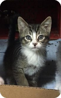 Domestic Shorthair Kitten for adoption in East Brunswick, New Jersey - Ray
