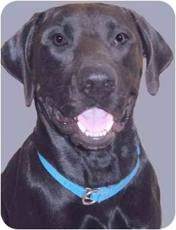 Labrador Retriever Mix Dog for adoption in Grass Valley, California - Ryder