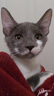 Domestic Shorthair Kitten for adoption in Valrico, Florida - Gigi
