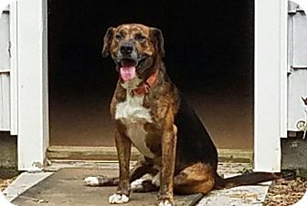 Beagle/Labrador Retriever Mix Dog for adoption in SUSSEX, New Jersey - Buckshot(40 lb) Fun, GREAT Dog
