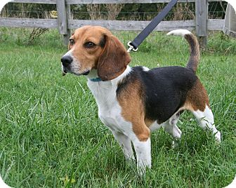 Beagle Mix Dog for adoption in Waldorf, Maryland - Sampson Grant