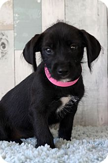 Terrier (Unknown Type, Medium) Mix Puppy for adoption in Waldorf, Maryland - Octavia