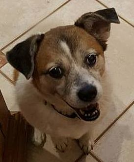 Pug/Jack Russell Terrier Mix Dog for adoption in Orlando, Florida - Gretal (Maggie)