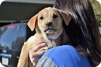 Labrador Retriever Mix Puppy for adoption in Acworth, Georgia - Polar - Bear Litter